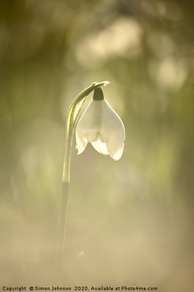 isolated snowdrop Canvas print by Simon Johnson