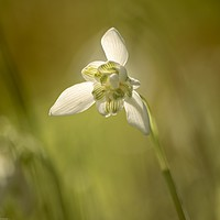 Buy canvas prints of isolated Snowdrop by Simon Johnson