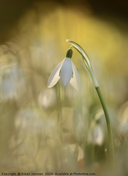 sunlit Snowdrop Canvas print by Simon Johnson