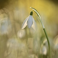 Buy canvas prints of sunlit Snowdrop by Simon Johnson