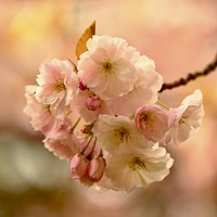 Buy canvas prints of Spring Cherry blossom by Simon Johnson