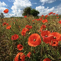Buy canvas prints of Sunlit summer poppies by Simon Johnson