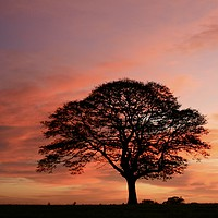 Buy canvas prints of Isolated tree at sunrise by Simon Johnson