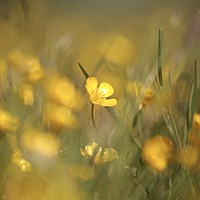 Buy canvas prints of Buttercups in weild flower meadow by Simon Johnson