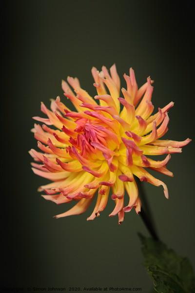 Dahlia Flower Canvas Print by Simon Johnson