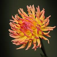 Buy canvas prints of Dahlia Flower by Simon Johnson