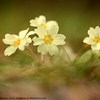 Buy canvas prints of Primrose flowers by Simon Johnson