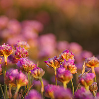 Buy canvas prints of Pink Thrift Flowers in the Evening Sun by Liam O'Malley