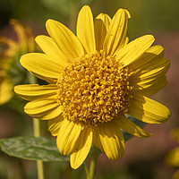 Buy canvas prints of Sunny Helianthus by Angela Cottingham
