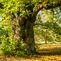 Buy canvas prints of Ancient Sweet Chestnut Tree by Angela Cottingham