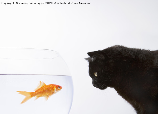 Close-up of a black cat staring at a goldfish Framed Mounted Print by conceptual images