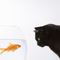 Buy canvas prints of Close-up of a black cat staring at a goldfish by conceptual images