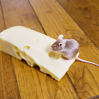 Buy canvas prints of A mouse feeding on a piece of cheese by conceptual images