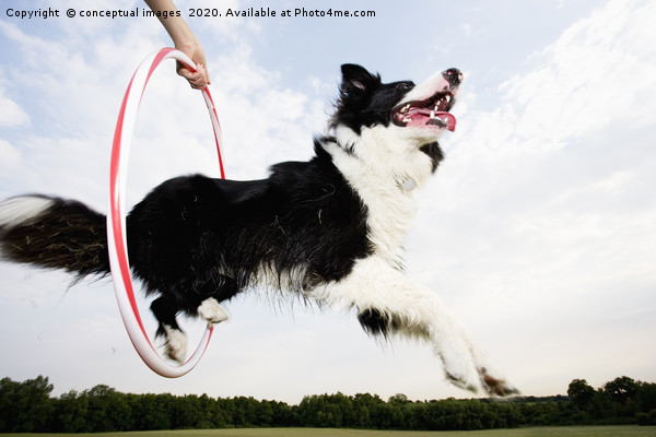 Low angle of a Sheepdog jumping through a hoop Framed Mounted Print by conceptual images