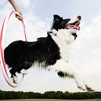 Buy canvas prints of Low angle of a Sheepdog jumping through a hoop by conceptual images
