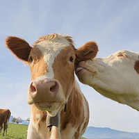 Buy canvas prints of Two cows kissing by conceptual images