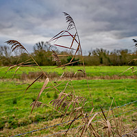 Buy canvas prints of Grass reeds in the Norfolk countryside by Chris Yaxley
