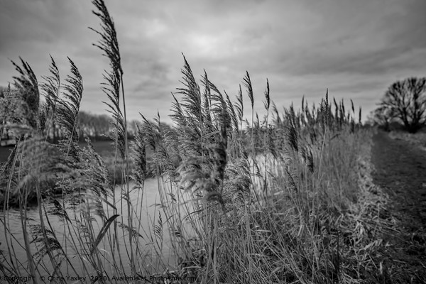 Riverside reeds bw Framed Mounted Print by Chris Yaxley