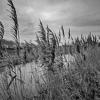Buy canvas prints of Riverside reeds bw by Chris Yaxley