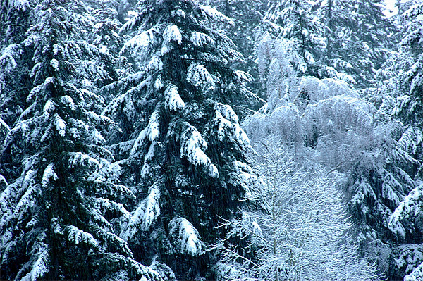 Snow Trees  Canvas print by Robert Gillespie