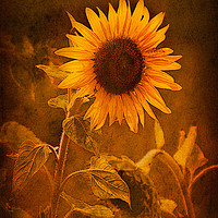 Buy canvas prints of Lone Sunflower  by Barbara Jones