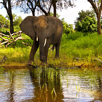 Buy canvas prints of Lone Elephant Chobe River Botswana Africa by Barbara Jones