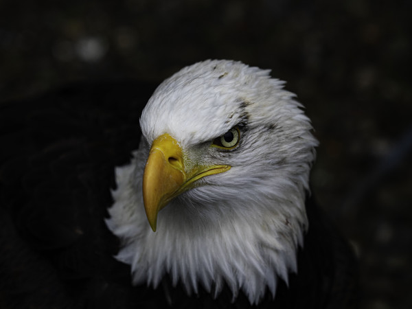 Portrait of a Bald Eagle Canvas print by Emma Dickson