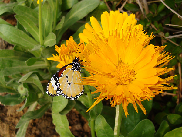 Butterfly on a yellow flower....  Canvas print by Ankit Mahindroo