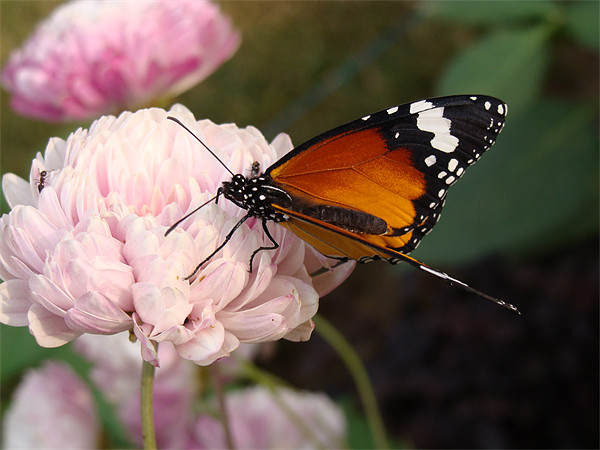 A Butterfly on a pink flower  Canvas print by Ankit Mahindroo