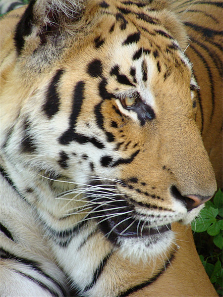 Tiger - a closeup view Canvas print by Ankit Mahindroo