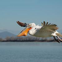 Buy canvas prints of Pelican bird flying with fish in it's beak by Anahita Daklani-Zheleva