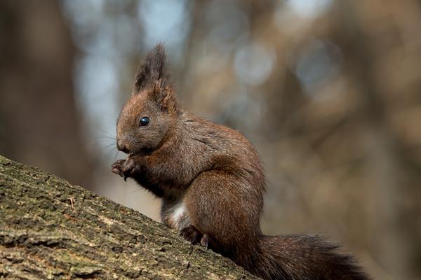 Cute brown forest squirrel sitting on a tree. Framed Mounted Print by Anahita Daklani-Zheleva