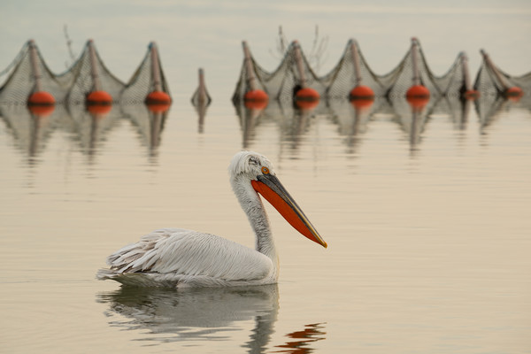 Pelican swimming in a lake with fishing nets. Framed Mounted Print by Anahita Daklani-Zhelev