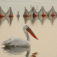 Buy canvas prints of Pelican swimming in a lake with fishing nets. by Anahita Daklani-Zhelev