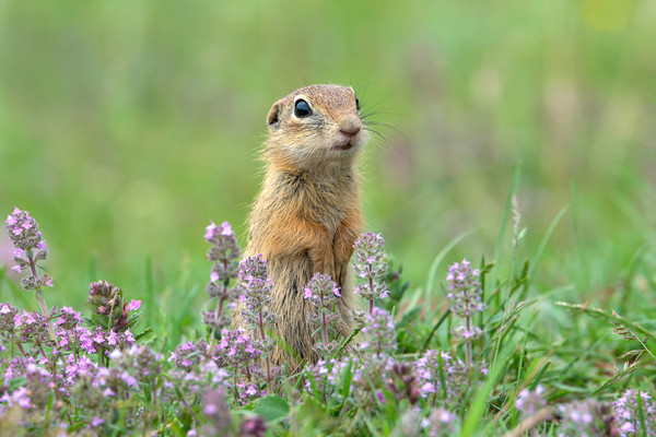 European ground squirrel with thyme flowers Framed Mounted Print by Anahita Daklani-Zhelev