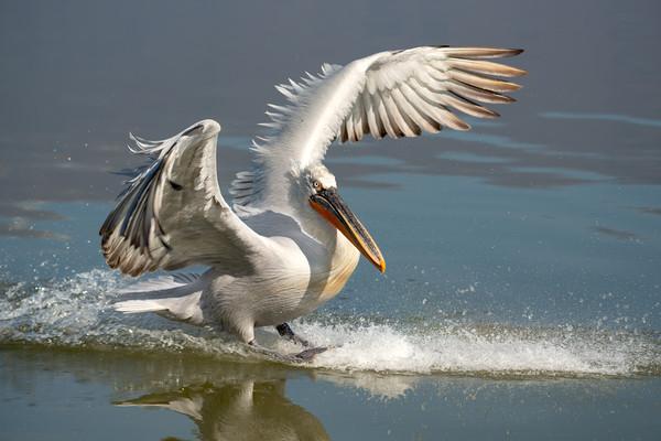 Dalmatian Pelican landing in the blue lake  Framed Mounted Print by Anahita Daklani-Zhelev