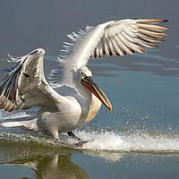 Buy canvas prints of Dalmatian Pelican landing in the blue lake  by Anahita Daklani-Zhelev