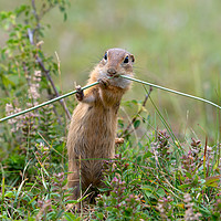 Buy canvas prints of European ground squirrel eating in the grass by Anahita Daklani-Zhelev