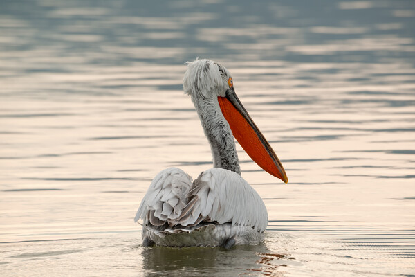 Dalmatian Pelican Bird in beautiful water. Framed Mounted Print by Anahita Daklani-Zhelev