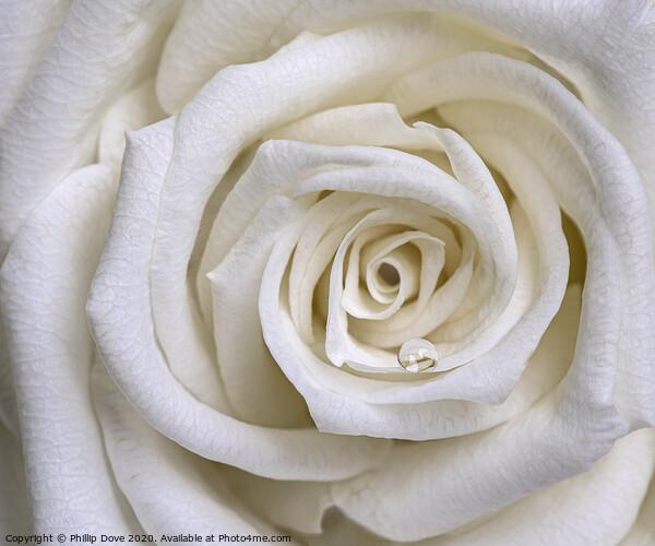 White Rose Canvas Print by Phillip Dove