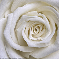 Buy canvas prints of White Rose by Phillip Dove