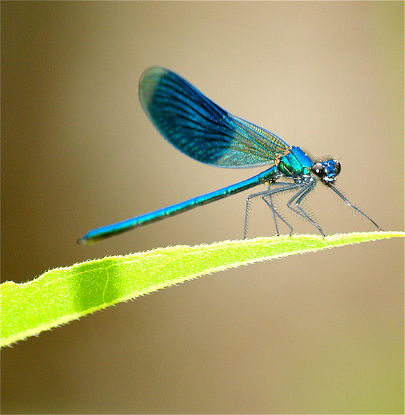 Blue Banded Damselfly Canvas print by Andrew Bradshaw