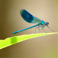 Buy canvas prints of Blue Banded Damselfly by Andrew Bradshaw