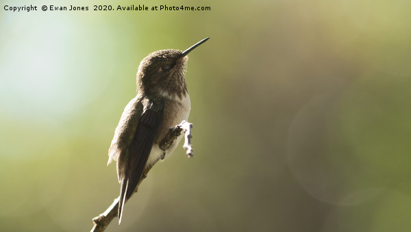 Volcano Hummingbird Basking Framed Print by Ewan Jones