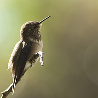 Buy canvas prints of Volcano Hummingbird Basking by Ewan Jones