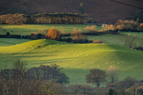 Sunrise over grazing sheep, Holt Ball, Exmoor Print by Shaun Davey