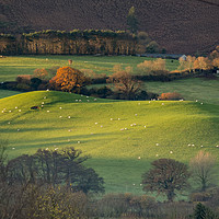 Buy canvas prints of Sunrise over grazing sheep, Holt Ball, Exmoor by Shaun Davey