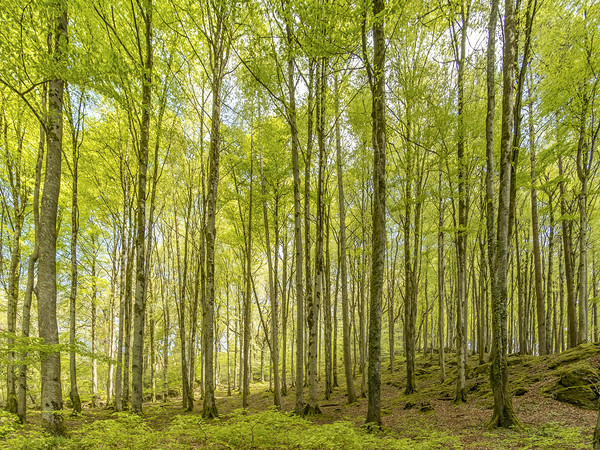 Birch Trees in the East Lyn Valley, Exmoor Canvas Print by Shaun Davey