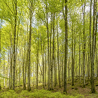 Buy canvas prints of Birch Trees in the East Lyn Valley, Exmoor by Shaun Davey