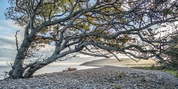 Coastal tree with a view to Hurlstone Point Canvas Print by Shaun Davey